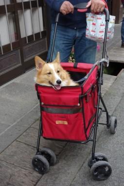 dog in pram - takayama