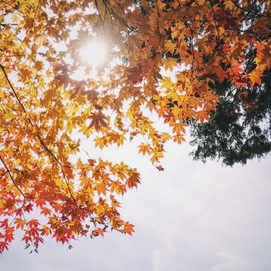 enkoji temple - maple leaves